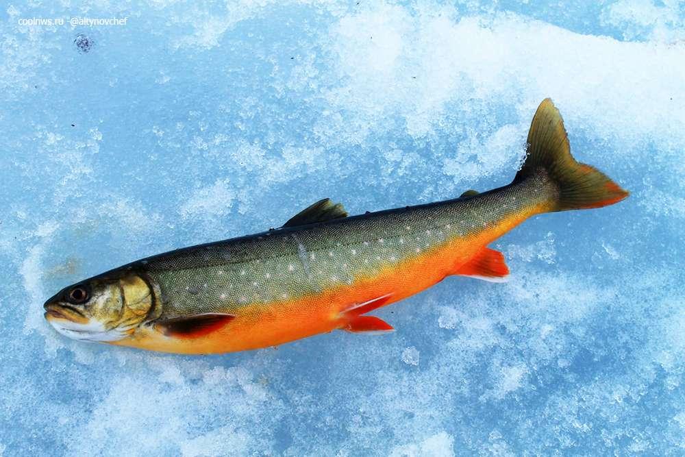 речной лосось голец