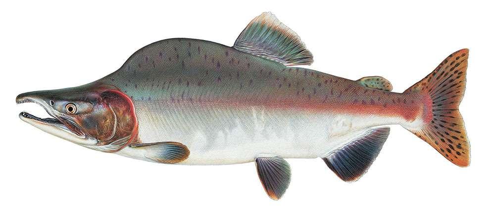 Дальневосточный лосось горбуша